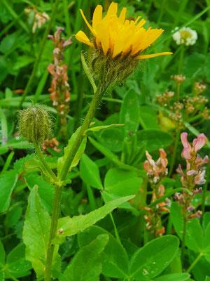 Crepis pyrenaica (Pyrenäen-Pippau)