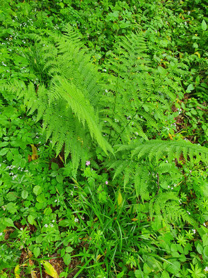 Athyrium filix-femina (Wald-Frauenfarn)
