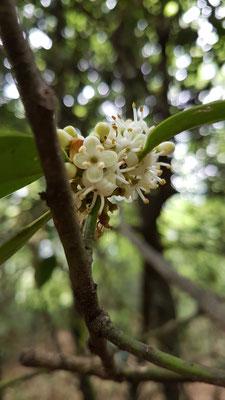 Ilex aquifolium männliche Blüte (Stechpalme)
