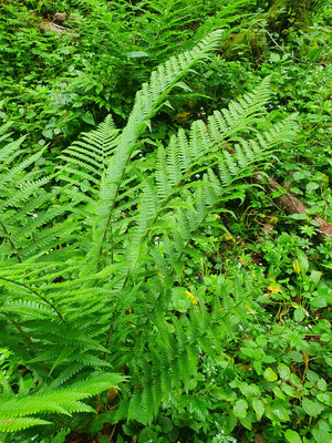 Dryopteris dilatata (Breiter Wurmfarn)