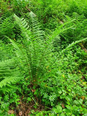 Dryopteris carthusiana (Dorniger Wurmfarn)