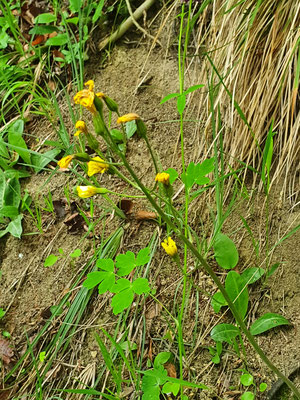 Crepis praemorsa (Trauben-Pippau)