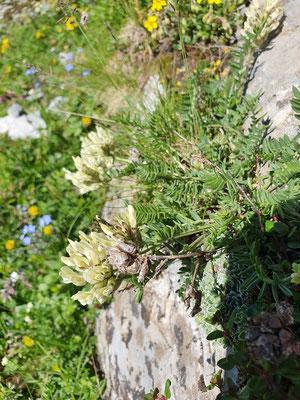 Oxytropis campestris (Gewöhnlicher Alpen-Spitzkiel)
