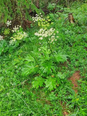 Heracleum sphondylium subsp. elegans (Berg-Wiesen-Bärenklau)