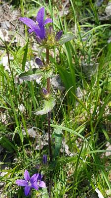 Campanula glomerata (Knäuelblütige Glockenblume)