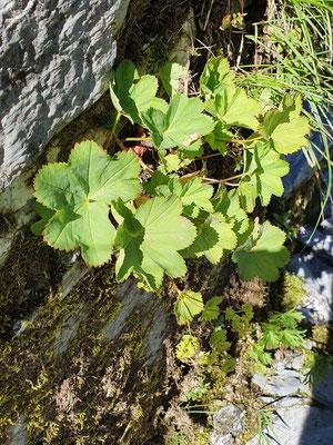 Alchemilla xanthochlora (Gemeiner Frauenmantel)