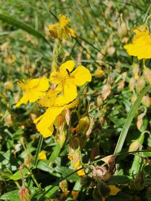 Helianthemum nummularium subsp. grandiflorum (Grossblütiges Sonnenröschen)