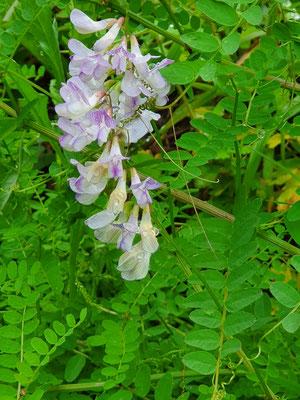 Vicia sylvaticum (Wald-Wicke)
