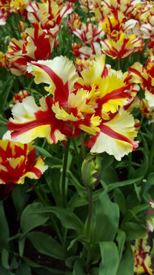 Just the most amazing colours - Tulips