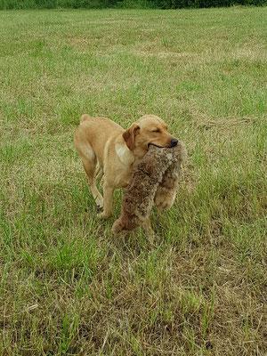 Hasenfelldummy apportieren - Training für die jagdl. Prüfungen