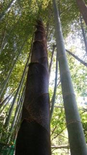 太くて元気なタケノコを3本か4本そのまま成長させ、古い竹を同じ数だけ切り倒します。