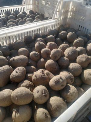 Die Kartoffeln werden im Winter vorgekeimt. So gehen sie bereits mit einem Entwicklungsvorsprung in den Boden.