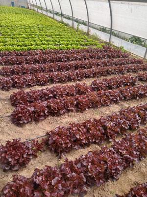 Der grüne Eichblattsalat war am schnellsten und ist schon soweit. Der rote Eichblatt und der Kopfsalat brauchen noch ein wenig länger.
