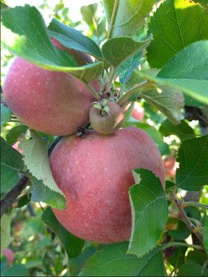 Pommes dans les vergers des Coteaux du Lyonnais
