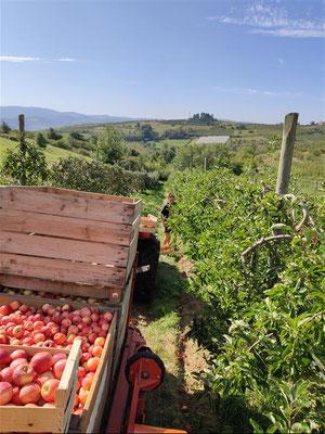 Récoltes de pommes