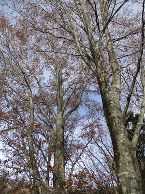 美しブナの枝 紅葉した葉