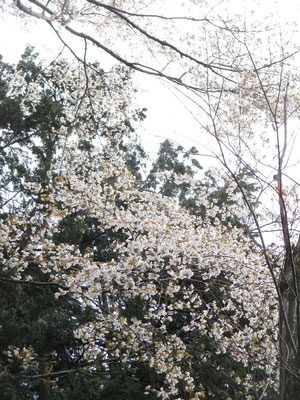 山のなかの桜は下界よりきれいに感じるのは何故でしょう