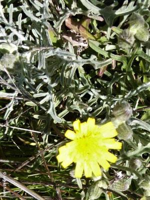 Andryala pinnatifida ssp. preauxiana - Fiederspaltige Andryala