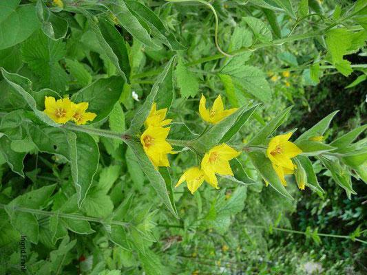 Lysimachia punctata - Drüsiger Gilbweiderich