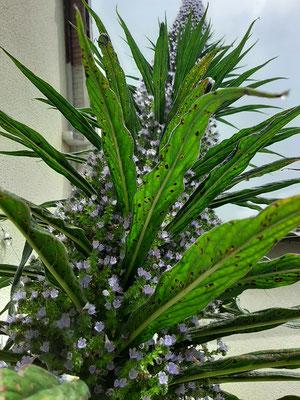 Echium candicans chez Chantal des Assis