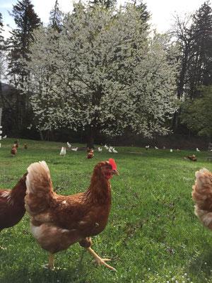 Glückliche Hühner Niederhausereier Gerzensee bei Thun