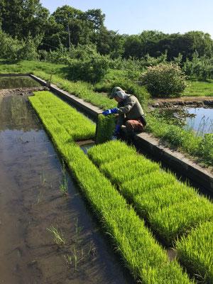 6月1日苗箱の籾は立派な苗に育ち苗上げ