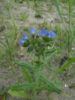 Anchusa arvensis - Kromhals