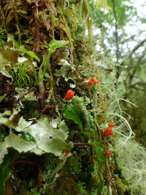 Cladonia coccifera - Rood bekermos