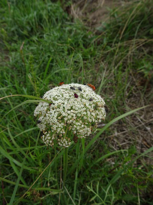 Daucus carota - Wilde peen