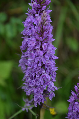 Dactylorhiza majalis - Brede orchis