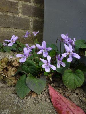 Viola riviniana 'Purpurea' - Purper viooltje