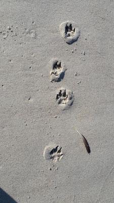 Spuren im Sand, ein Wolf?