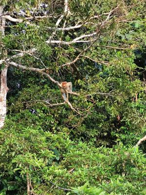 Nasenaffe am Kinabatangan River, Bilit, Sabah, Borneo, Malaysia