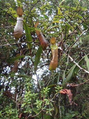 Pitcher Plant bei der Wanderung auf den Mount Kinabalu, Sabah, Borneo, Malaysia