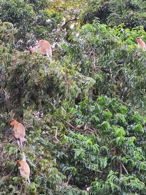 Nasenaffen am Kinabatangan River, Bilit, Sabah, Borneo, Malaysia