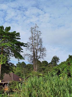 Adler auf der Baumkrone am Kinabatangan River, Sabah, Borneo, Malaysia
