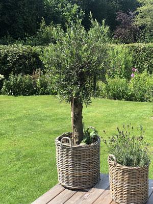 Olivenbaum im Garten www.hanse-palmen.de