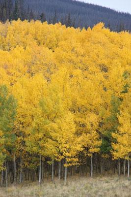 Die gelben Blätter ersetzten die Sonne.