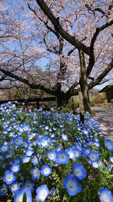 <s20-152>あ~ちゃんさん:桜とネモフィラのコラボ♪/4月の初め/花やしき