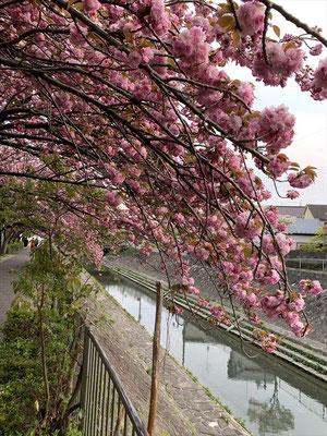 <s20-144>Katsuさん:さとさくら/4月16日(木)/善福寺川 杉並済美周辺