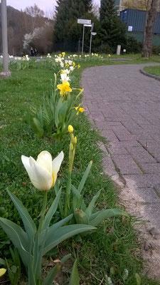 Die ersten Tulpen gesellen sich zu den vielen Narzissen