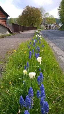 Blaue Traubenhyazinthen und weiße kurzstengelige Tulpen- eine schöne Kombination