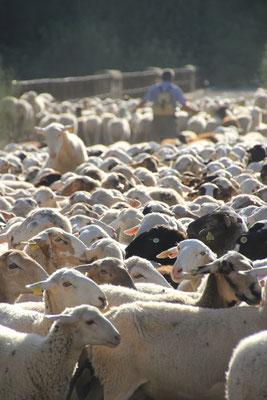 Schafe b.Standplatz alte Eiche, N. Coripe