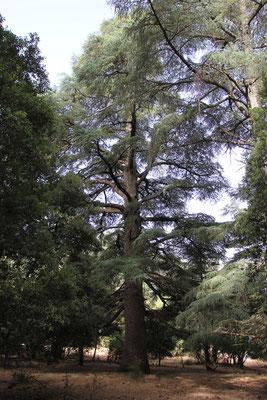 großer Zedernwald bei Azrou