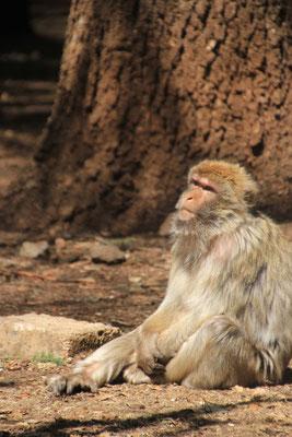Affe bei der großen Zeder, Nähe Azrou