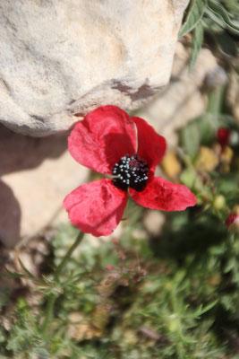 rote Blume Standplatz Pena di Fraile