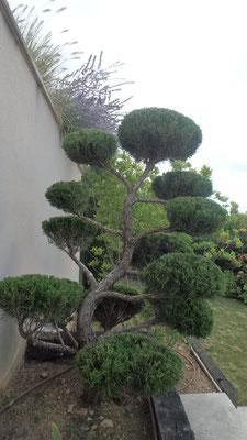Juniperus conduit en taille japonaise