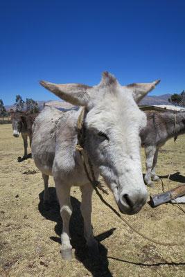 Ein Esel in Pashpa.