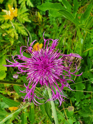 Centaurea scabiosa (Skabiosen-Flockenblume)