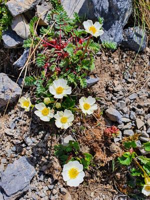Ranunculis alpinus (Alpen-Hahnenfuss)